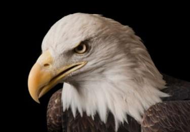 bald eagle endangered species essay