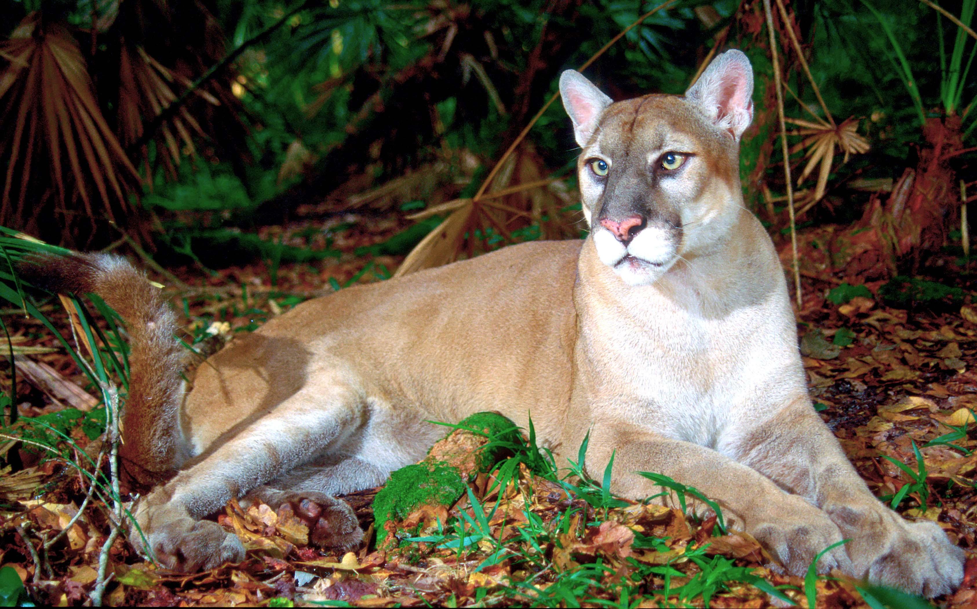 florida cougar