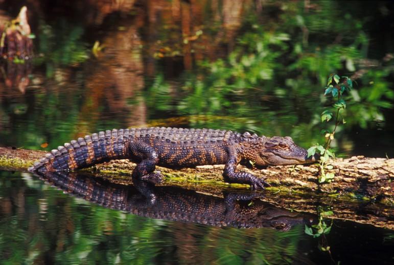 American Alligator Endangered Species Coalition