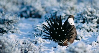 Greater sage grouse walking on snow