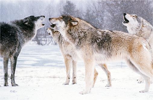 ilyj-wolves