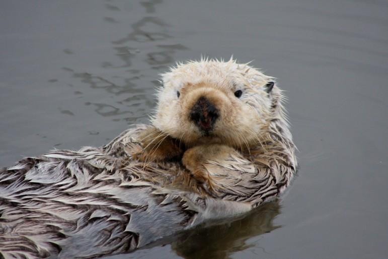 Sea Otter   Endangered Species Coalition