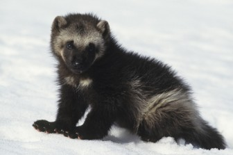 Wolverine in snow