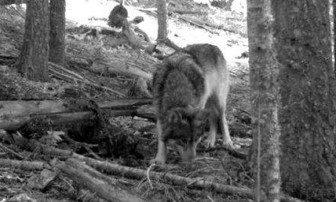 Wolves like Journey would be put at risk of state-led hunts under the Interior Secretary's plan.