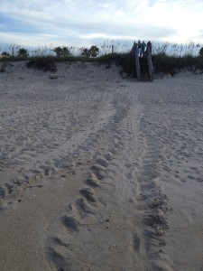 Tracks on the refuge mark a green sea turtle's journey to shore and back to sea (credit Shannon Miller/Defenders of Wildlife)