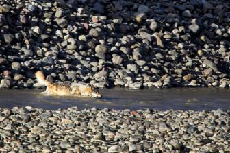 wolf swimming.2467.LR
