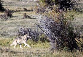 wolf trotting.2414.LR