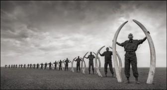 Rangers Holding Tusks of Killed Elephants 1.1-1