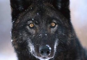 wolfwi