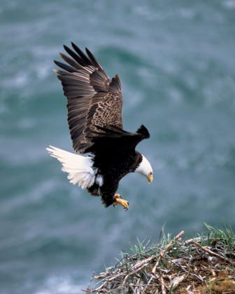 bald eagle image 1 credit USFWS