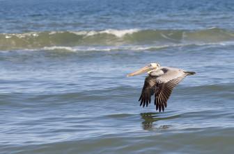 brown pelican image 3 photo credit Lisay