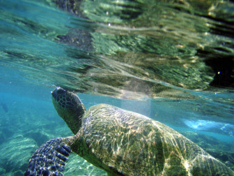 green sea turtle image 2 credit TheBrockenInaGlory