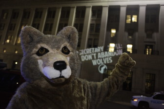 Secretary Jewell: Don't Abandon Wolves!