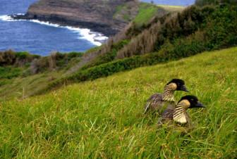 nene goose image credit USFWS
