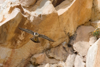 peregrine falcon photo credit Kevin Cole