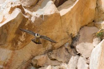peregrine falcon photo credit Kevin Cole
