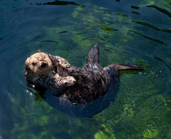 sea otter photo credit Mathieu Fenniak