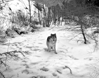 Wolves have been breeding and on the move in the Northwest for the past few years. This wolf, a member of the Minam Pack, one of seven known packs wandering in Oregon, was captured by remote camera on February 2, 2013. OREGON DEPARTMENT OF FISH AND WILDLIFE