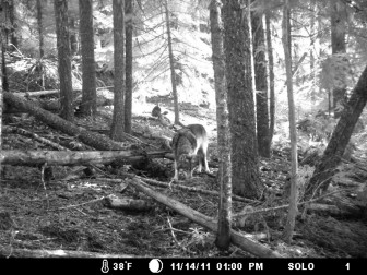 A hunter captured this photo of the lone wolf called OR7 on public land in Jackson County, southern Oregon, in November 2011. Shortly after that, the wolf wandered into California. ALLEN DANIELS
