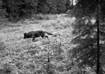 The Endangered Species Act has allowed wolves the freedom to grow and travel. Above, a member of the Snake River pack as he traveled through Oregon on June 26, 2012. ODFW