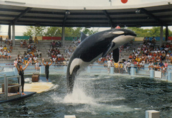 """Lolita"" performing at the Miami Seaquarium"