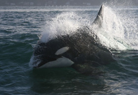 A killer whale powers its way through the water. Credit: NOAA