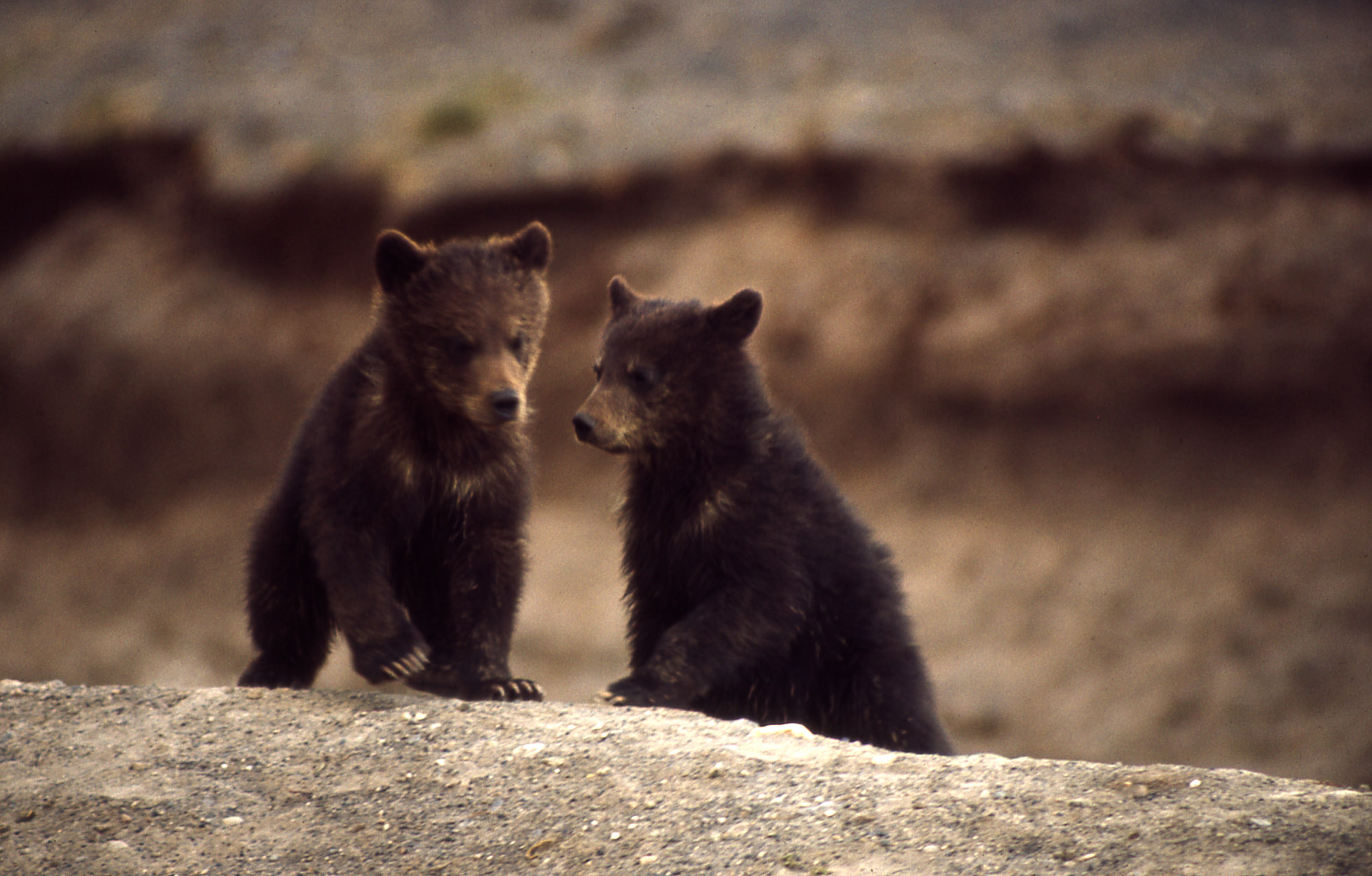 Yellowstone Grizzly Bears – An Update from the Field ...