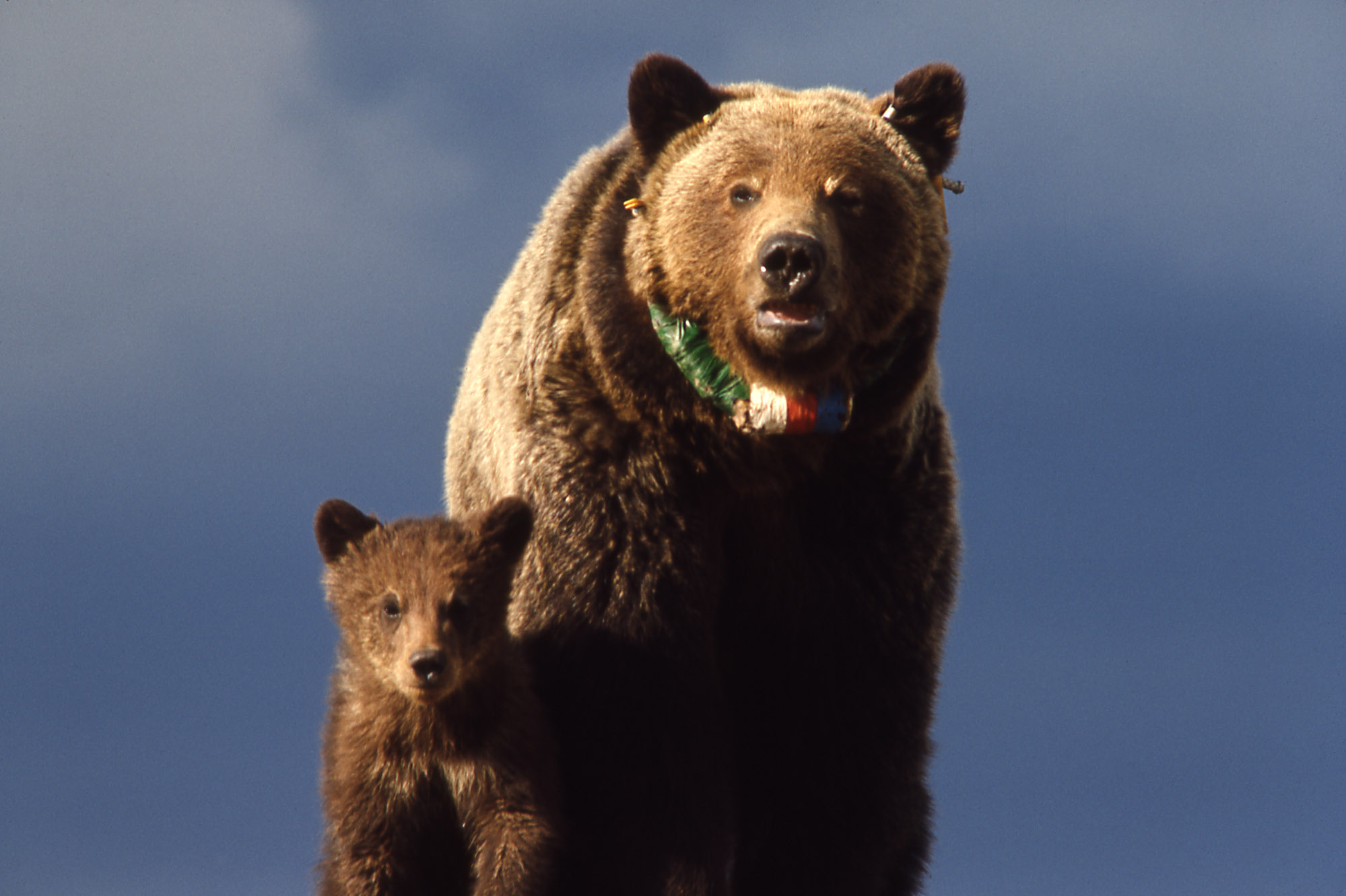 Yellowstone Grizzly Bears - An Update from the Field ...