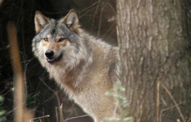 wiwolf
