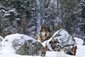 yell-wolf-web_greateryellowstonescience_2