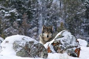 yell-wolf-web_greateryellowstonescience_2