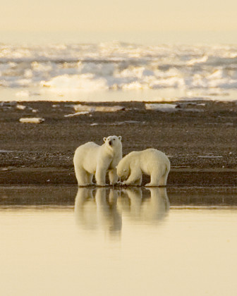 polar_bears_steve_hillebrand_usfws