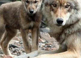 wolfphto