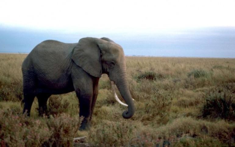 african-elephant-male_w725_h492-800x500_c