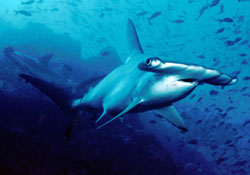 scalloped-hammerhead-shark-credit-barry-peters-wikimedia-commons-250
