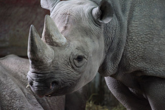 black-rhinoceros-11282318477XvGO