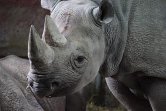 black-rhinoceros-11282318477XvGO