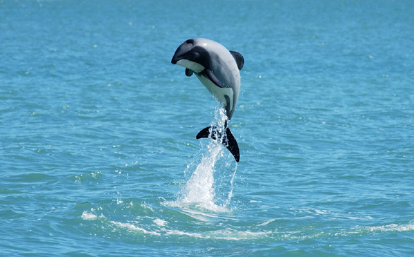 This iconic shot of a beautiful little leaping New Zealand dolphin is by marine scientist Will Rayment