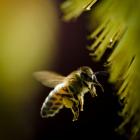 bumblebeecreditEPA