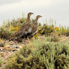 Greater sage-grouse credit  Tom Koerner/USFWS