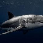 Great white shark credit Bob Talbot/NOAA