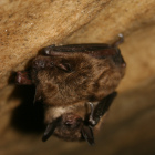 Little brown bat credit Ann Froschauer/USFWS