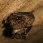 Little brown bat credit Ann Froschauer/USFWS