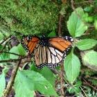 Monarch butterfly credit Derek Goldman/ESC