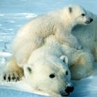 Polar bear credit  Scott Schliebe/USFWS.