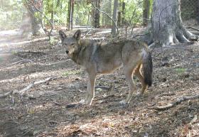 redwolfprogram
