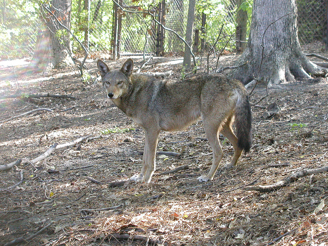Red Wolf Recovery at Critical Junction | Endangered Species