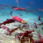 Snake River sockeye salmon credit NOAA/IDFG