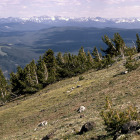 Whitebark pine credit RG Johnsson/USFWS