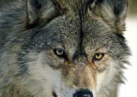 wolf200x200